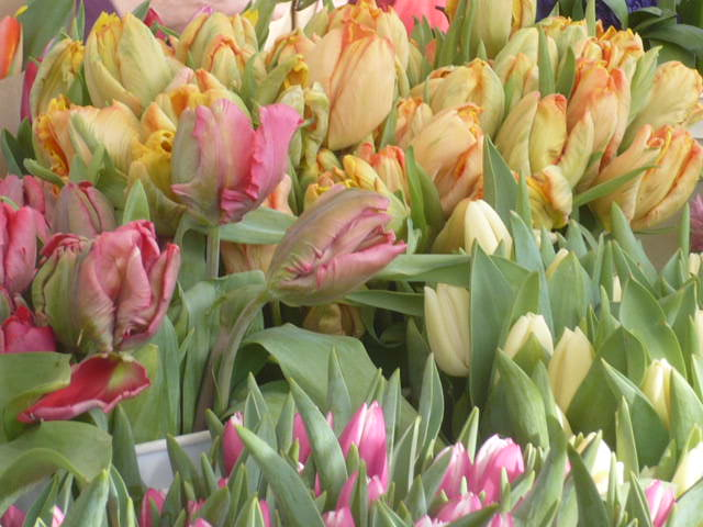 A favorite:  parrot tulips.